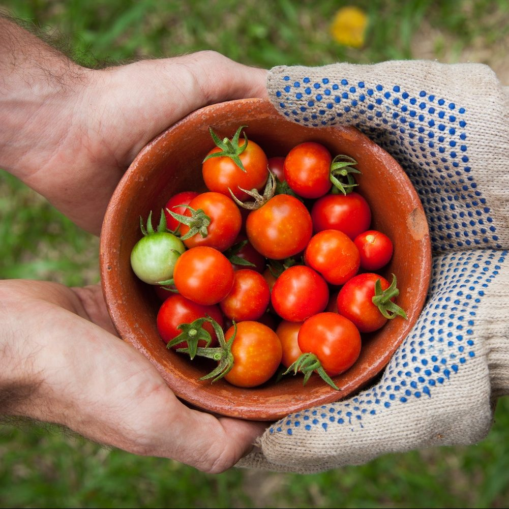 A photograph taken from above of a bowl of tomatoes beind held by two sets of hands. One set of hands is wearing gardening gloves.